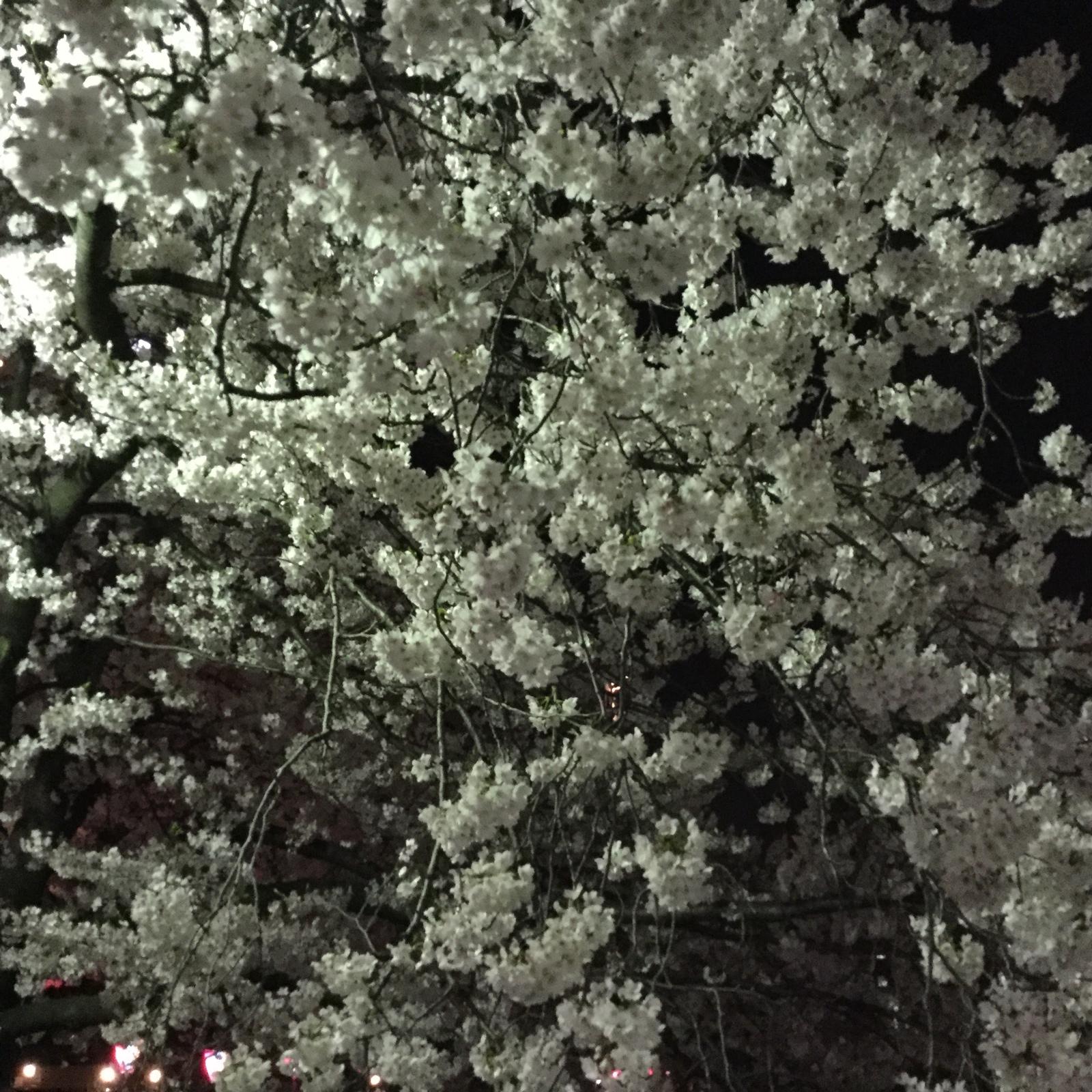 桜20160403−大岡川01a
