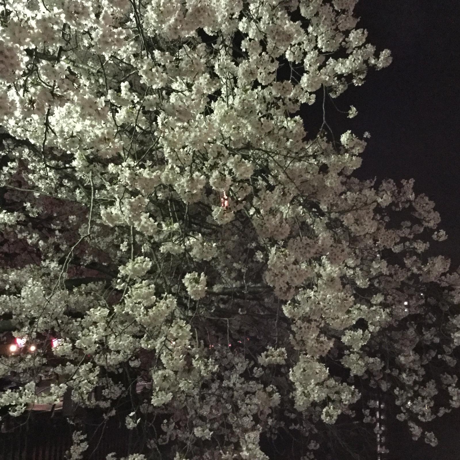 桜20160403−大岡川02a