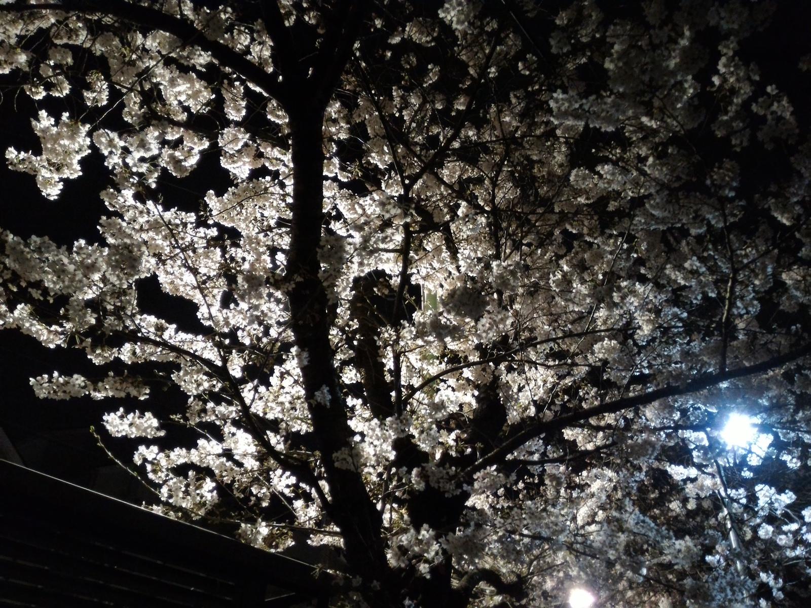 桜20160403−近所01